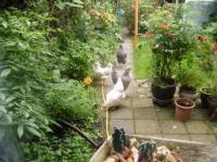 Kippen zijn gezellige en eenvoudig te houden huisdieren. Ook in de achtertuin. Ze verlevendigen de tuin, zijn makkelijk te verzorgen en leggen ook nog...