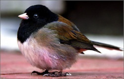 Junco- Dark-eyed junco The dark-eyed junco is the best-known species of the juncos, a genus of small grayish American sparrows. This bird is common across much of temperate North America and in summer ranges far into the Arctic.