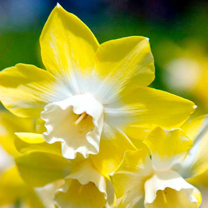 (Daffodil) Two years ago my son and I planted Daffodils in our backyard. I love the bight yellow color of these flowers.