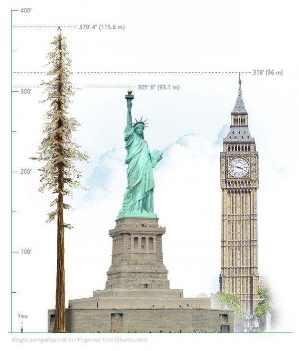 Hyperion-tallest-tree2