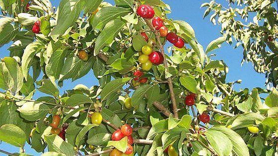 Un frutto prodigioso facilmente reperibile soprattutto sotto forma di confettura o succo o essiccato, sempre utilizzato dalla medicina popolare come