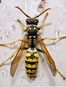Polistes dominula. European paper wasp. Our native Yellow Jacket species have all black antennae,while the European Paper Wasp has black and orange coloring on its antennae.The European Paper Wasp has longer legs and a narrower waist as compared to our native Yellow Jacket Wasp's bodies, but not the tiny, almost unattached waist of our Native Paper Wasp's body.