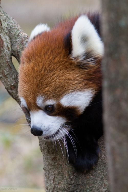 Red Panda | Mark Dumont, on Flickr.
