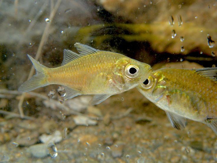 Agassiz's Glassfish