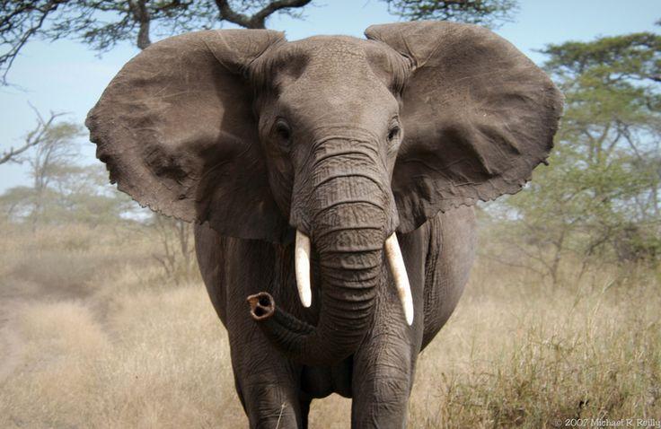 Elephant Stampede Elephant Stampede Flickr All Rights