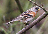 Écoutez le Bec-croisé des sapins sur chant-oiseaux.fr, une collection complète des chants d'oiseaux français. Fonctionne aussi sur votre téléphone portable!