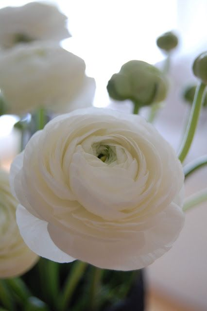 Ranuculus white and yellow