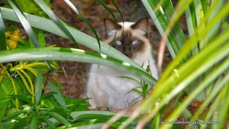 Cats are so much happier when they can stay home when their home owners travel! This is a beautiful cat we did a pet sit for in the Noosa Heads area of the Sunshine Coast in Queensland, Australia.