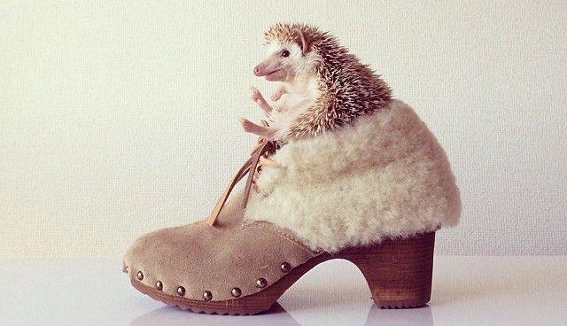 Ouriço terrestre da raça hedgehog - darcytheflyinghedgehog4