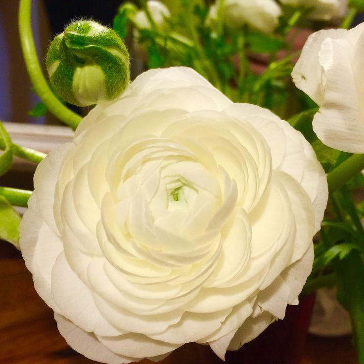White ranunculus perfection