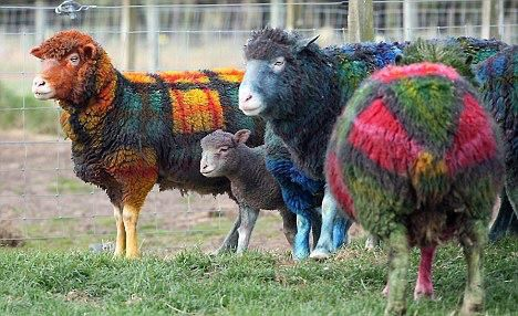 Plaid sheep