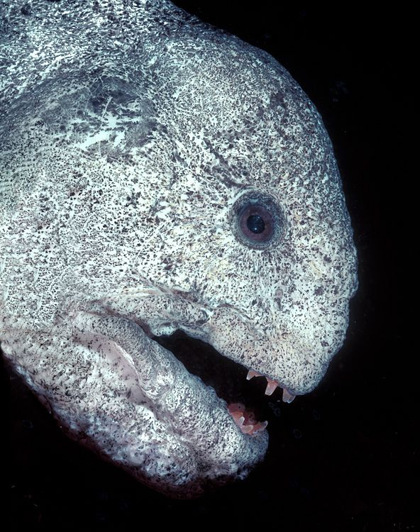 Wolf eel - David Hall's Encounters in the Sea Gallery - Looks more like a zomby!!!