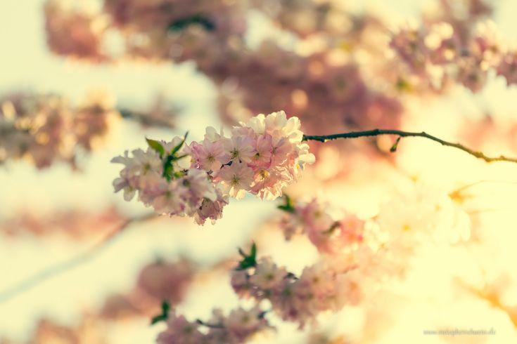 Magnolien geben im Frühling mit ihren riesigen Blüten ein imposantes Bild ab und sind ein begehrtes Fotomotiv für ambitionierte Fotografen wie metapherschwein