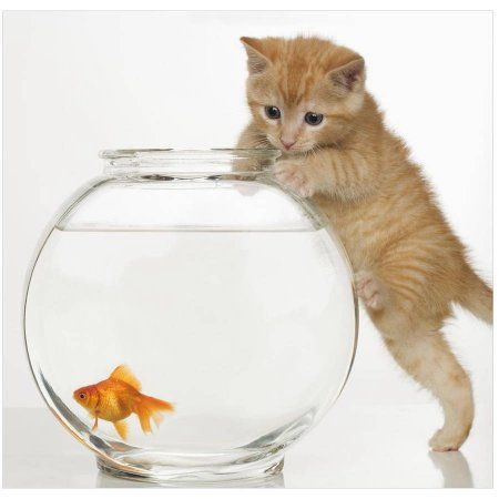 Kitten Trying To Get A Goldfish From The Bowl By Eazl Premium