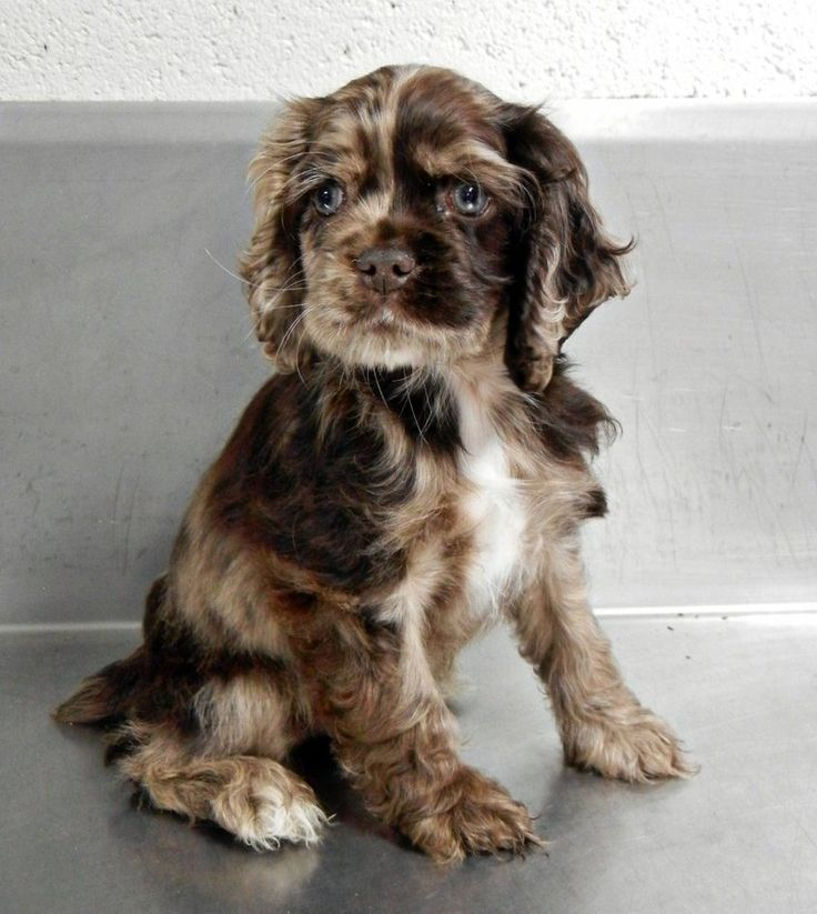 cocker spaniel puppies , adorable omg!!! Seriously i want this dog!!!!