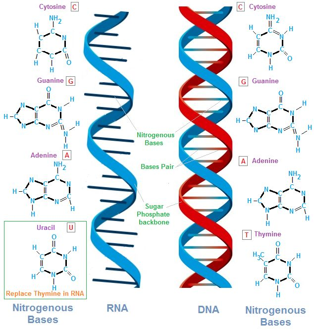 an analysis of the structure of deoxyribonucleic acid and the transfer of genes An exploration of the structure of deoxyribonucleic acid, or dna if you want to learn more, join our free mitx 700x introduction to biology course (https:/.