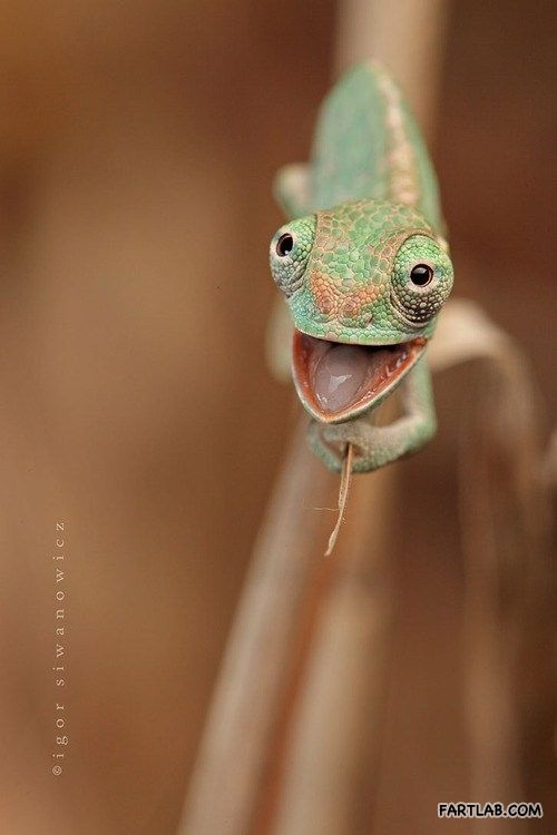 This camaleon looks so happy! A whatever face!