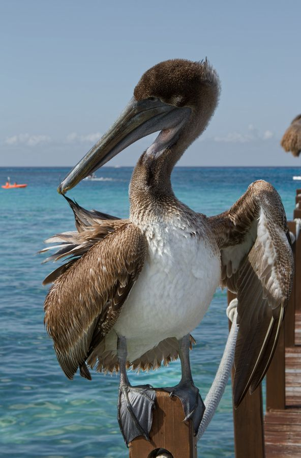 Brown Pelican - Cozumel, Mexico  Order an oil painting of your pet now at www.petsinportrait.com