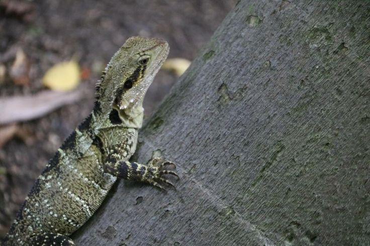 Frill Neck lizard in southbank gardens