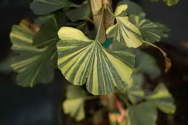 A remarkable ginkgo discovered by master propagator Crispin Silva as a chance mutation on the male cultivar 'Jade Butterflies.' The upright plants showcase bold, highly variegated foliage with irregular streaks of green, cream and yellow. Each leaf is different yet the sum of the whole is breathtaking. The coloration is stable and sun tolerant remaining prominent throughout the growing season. I would love one, but they are sold out everywhere! I'm on a wait list.
