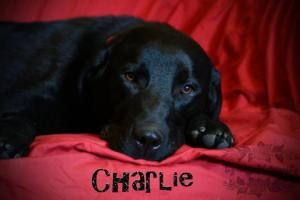 Charlie is an adoptable Black Labrador Retriever Dog in Chilliwack, BC. Meet Charlie! He is a sweet boy approximately 1yr old. He tagged along with me today and was wonderful. He rode quietly in the c...