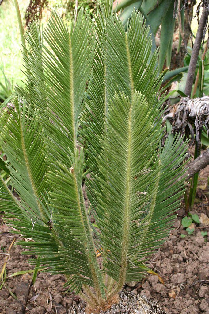Encephalartos ghellinckii