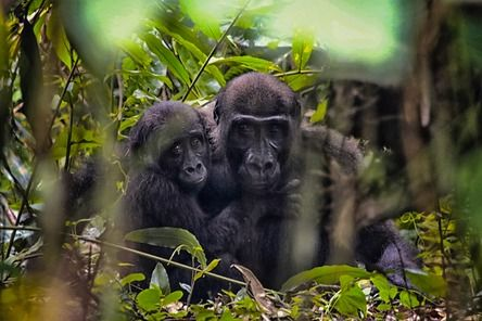 """""""This wild gorilla decided to stop by our camp. In the forest, the vegetation is usually too thick to see the gorilla clearly but our camp was more open. I crouched down at the edge of camp to see these two brothers watching me. The elder, Motchi, was protectively hugging his younger sibling Owabi. It was spectacular to see these amazing creatures from the luxury of camp.""""  Join the #MyNatureMoment movement here: bit.ly/24yVWYL"""
