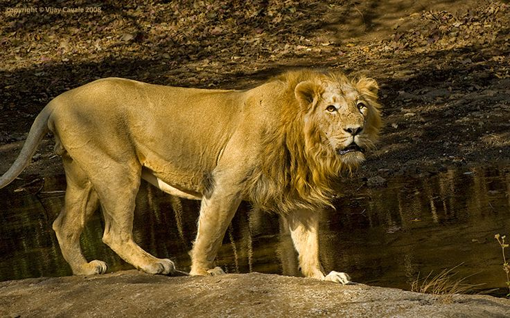 Asian Lions Split From African Lions Perhaps 100,000 Years Ago