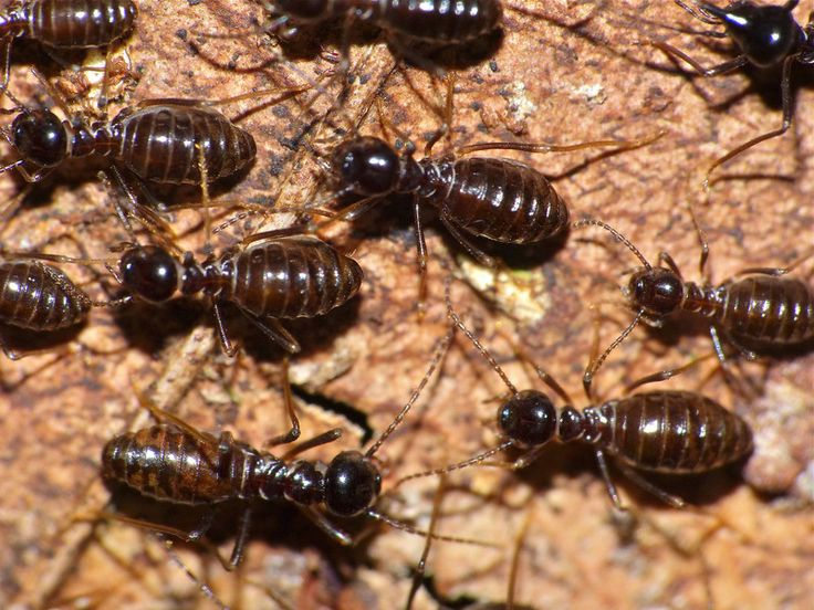 THE UNEXPECTED ORIGINS OF FECAL TRANSPLANTS: TERMITES