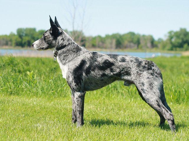 Koolie Dogs For Sale