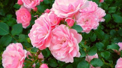 Розы флорибунда. Все о флорибунде. Уход за флорибундой, Обрезка роз флорибунды Много