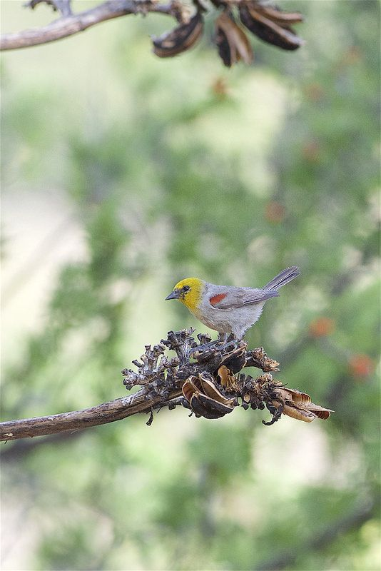 Verdin (Auriparus flaviceps), Portal Arizona | by Daniel J. Field