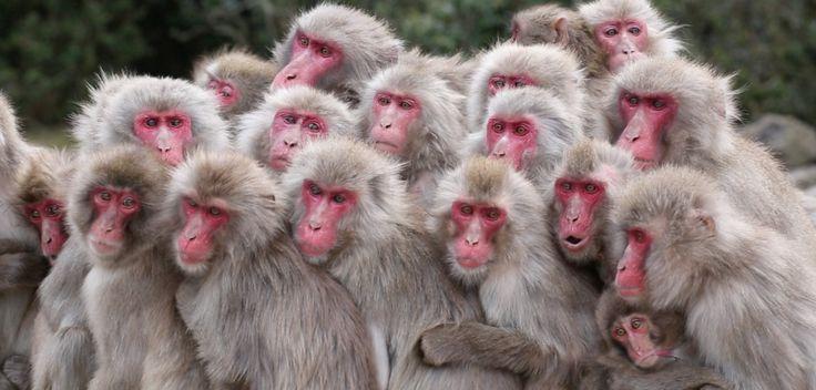 Ils lavent leurs patates douces, jouent avec des cailloux ou se baignent dans les sources d'eau chaude. Les macaques japonais affichent des comportements complexes qui ne relèvent pas de la génétique mais de la culture. Dans cette vidéo publiée avec Le Monde, des chercheurs tentent de comprendre comment ces savoirs se transmettent, en étudiant les réseaux sociaux qui structurent les groupes de singes. Voyage au Japon à la rencontre de nos cousins pas si lointains...