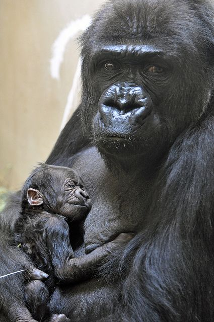 @Cheyenne Mountain Zoo's new #baby #gorilla born August 2012: Baby Pandas, Babies, Gorilla Born, Mountain Zoos, Cheyenn Mountain, New Baby, Baby Gorilla, August 2012, National Zoos