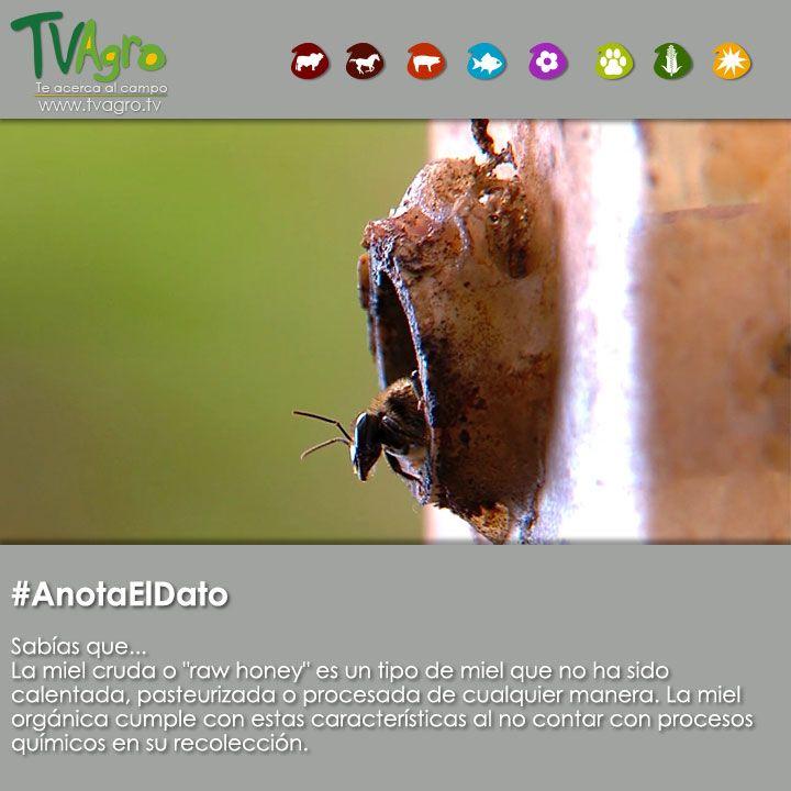 #AnotaElDato La miel de abejas orgánica, tiene un sabor único y beneficia a la salud y al medio ambiente.