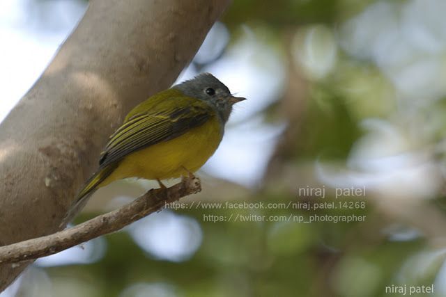 Nirajphotographer: Flycatcher series : Grey Headed Canary Flycatcher