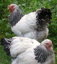 Brahma Livestock