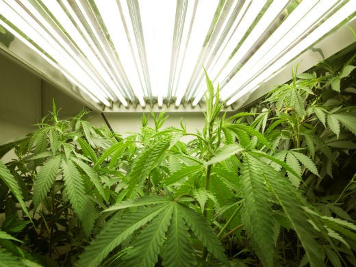 File photo of marijuana Growing Room. (© Cavan Images, LLC/Getty)