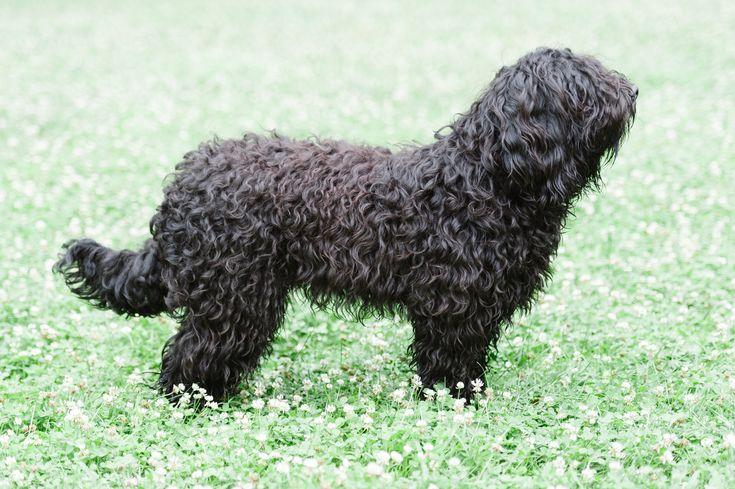 È un cane di taglia mediapiccola, mesocefalo e mesomorfo. Morfologicamente è classificato come braccoide. Il suo aspetto è molto particolare a causa del pelo folto e lanoso che ricopre interamente il corpo, compresa la testa ed il muso.