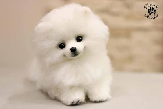 Pomeranian Bold And Inquisitive Teddy Dog Cute Baby Dogs Cute Baby Animals