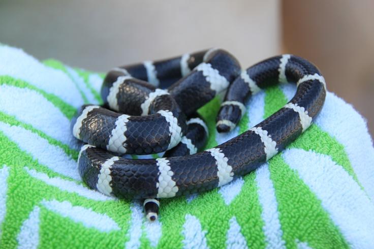 Bandy Bandy Snake - caught at Cedar Creek