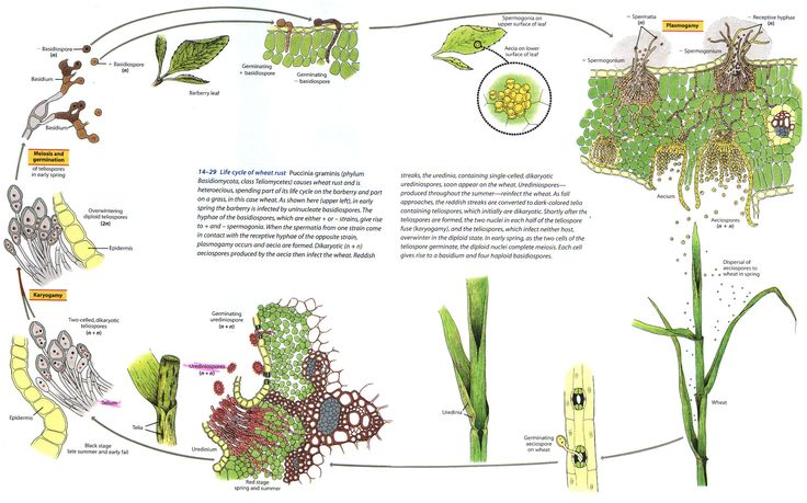 wheat rust life cycle