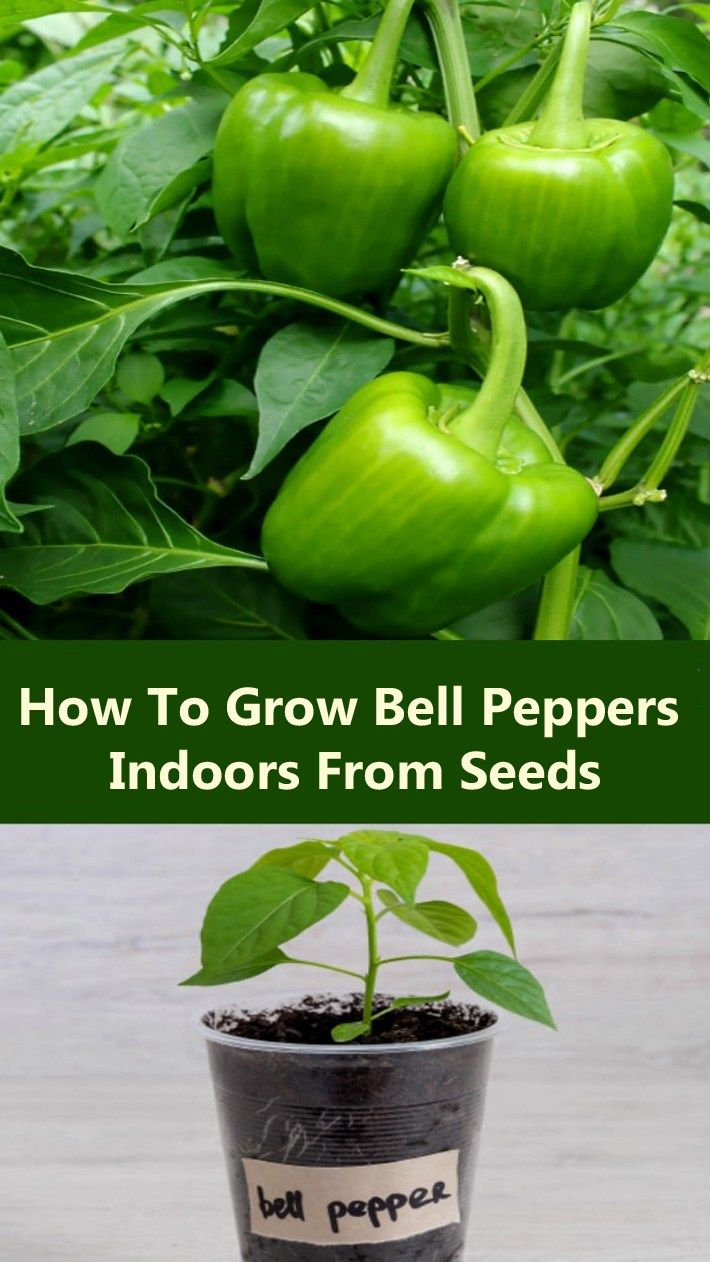 growing bell peppers indoors