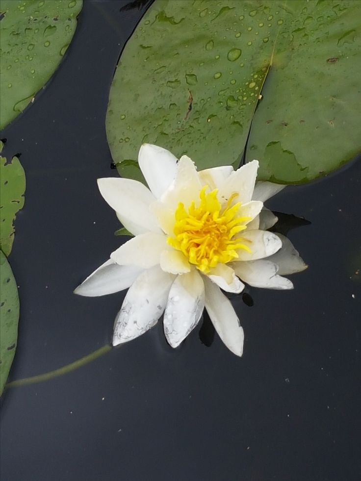 Most wondrous Water Lily. Explore and play with PathAway! http://pathaway.com/purchase.php?id=buy