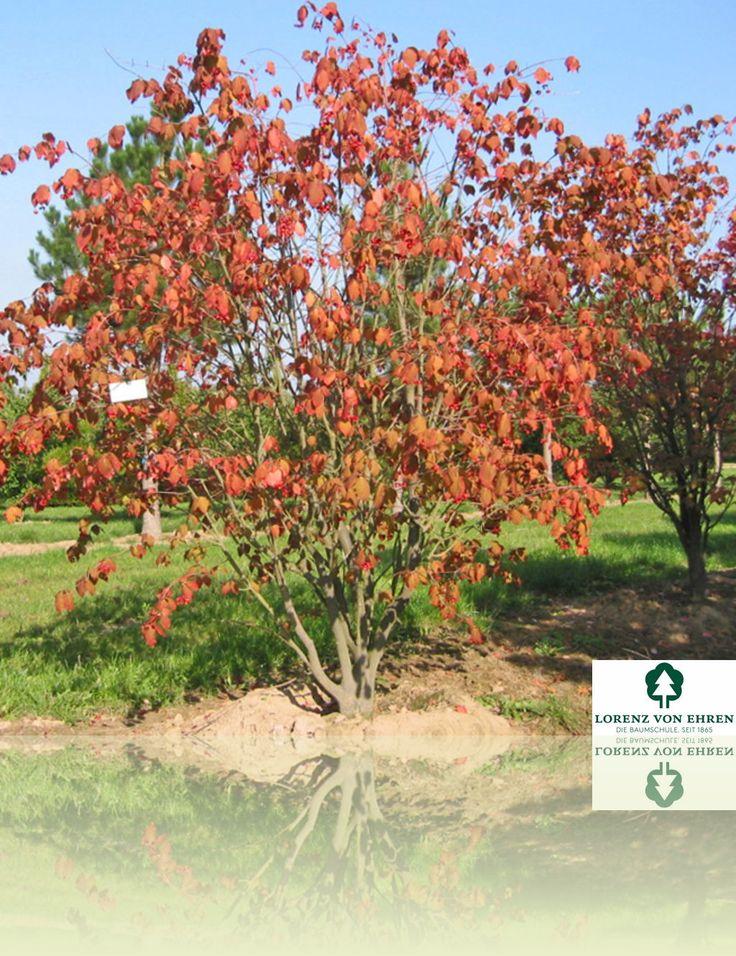Euonymus planipes | Baumschule Lorenz von Ehren - Baumschulen seit 1865 - Wir lieben Bäume