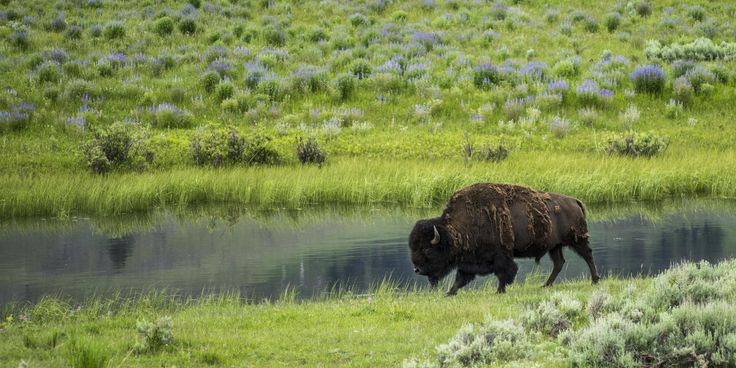 Bison grazing by a pond in the Lamar Valley.- 5 Best Spots for Wildlife Viewing in Yellowstone National Park