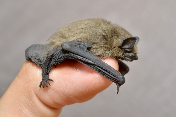The common pipistrelle bat (Pipistrellus pipistrellus) is 3.5–5.2 centimeters (1.4–2.0 inches) long from head to tail. However, the smallest bat species is the Kitti's hog-nosed bat found in Thailand and Burma, also know as the bumblebee bat.