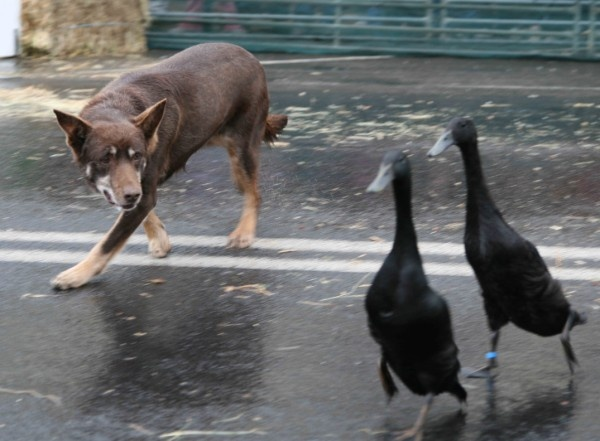 Why did the Kelpie cross the road? Desperate to herd something it found some indian runner ducks!