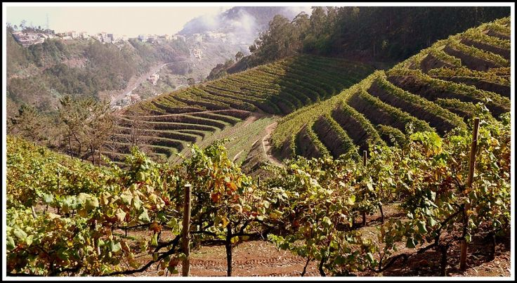 Madeira - 2012 Vintage Report - MAD ABOUT MADEIRA