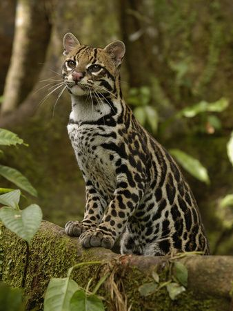 Ocelot standing on a Buttress root, Amazon rainforest #SS13 inspiration
